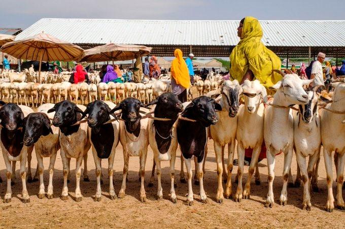 SOMALI CATTLE BREEDERS FEELING THE EFFECT OF DOWNSIZED HAJJ