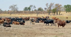 DON'T SELL LIVESTOCK WITH ANTIMICROBIAL RESIDUES